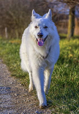 Photograph - Swiss White Shepherd by Elenarts - Elena Duvernay photo