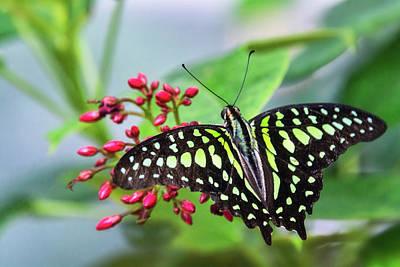 Art Print featuring the photograph Tailed Green Jay Butterfly  by Saija Lehtonen