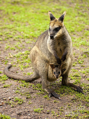 Marsupial Photograph - Taking A Peek by Mike Dawson
