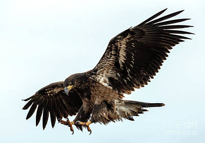 Talons Photograph - Talons First by Mike Dawson