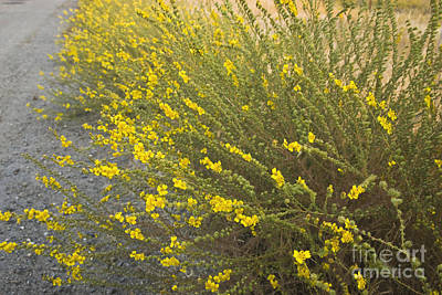 Fiddleneck Photograph - Tarweed Flowering by Inga Spence