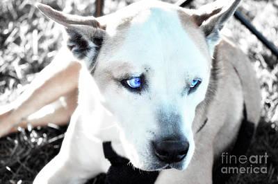 Pitbull Photograph - Tas by Molly McPherson