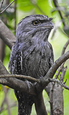 Photograph - Tawny Frogmouth by Winston D Munnings