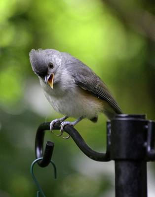 Tufted Titmouse Photograph - Teddy The Tufted Titmouse by Philip Ralley