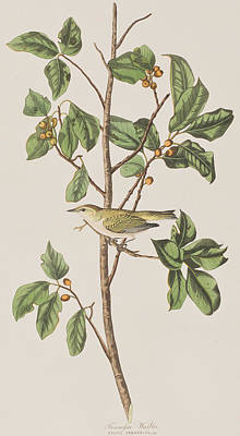 Leaf Drawing - Tennessee Warbler by John James Audubon