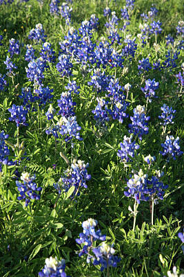 Photograph - Texas Bluebonnets by Frank Madia