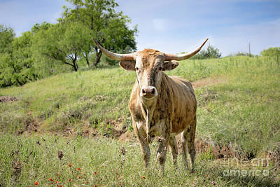 Photograph - Texas Longhorn by Lawrence Burry
