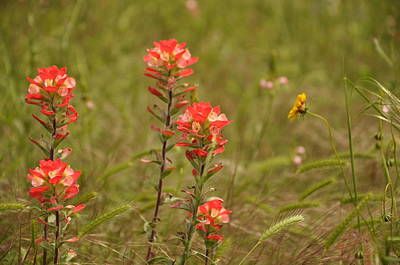 Photograph - Texas Paintbrush by Frank Madia