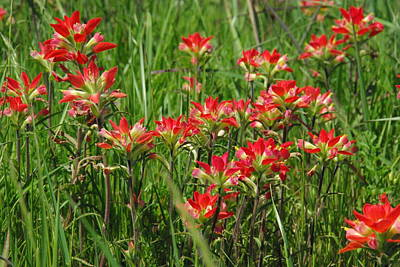 Photograph - Texas Paintbrush by Robyn Stacey