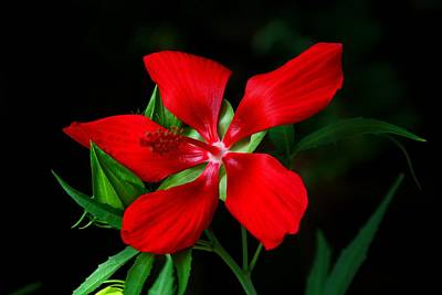 Photograph - Texas Star Hibiscus by Kathryn Meyer