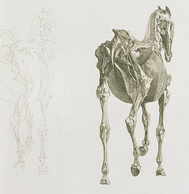 Detail Drawing - The Anatomy Of The Horse by George Stubbs
