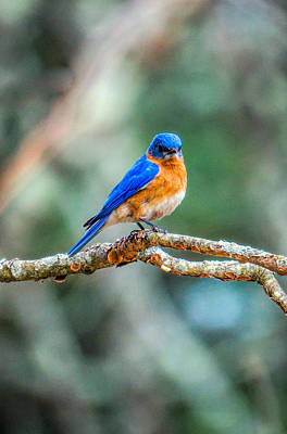 Photograph - The Blue Bird by Lilia D