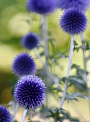 Photograph - the blue Thistle by Werner Lehmann