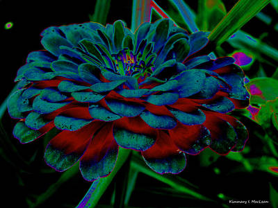 Photograph - The Colors Of A Zinnia by Kimmary MacLean