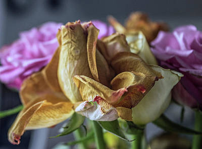 Roses Royalty-Free and Rights-Managed Images - The Dying Rose by Martin Newman