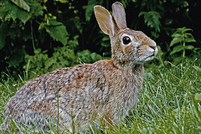 Rabbit Hunting Photograph - The Eastern Cottontail Rabbit by Asbed Iskedjian