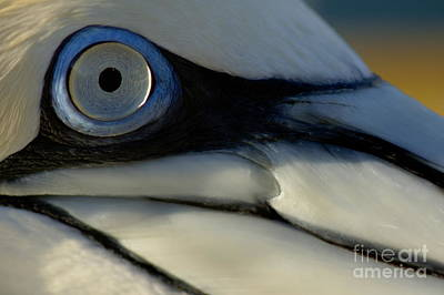 The Eye Of A Northern Gannet Art Print by Sami Sarkis