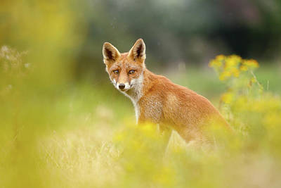 The Fox And The Flowers Art Print by Roeselien Raimond