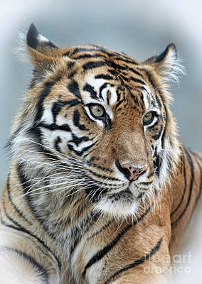 Photograph - The Gaze Of A Tiger by Jim Fitzpatrick