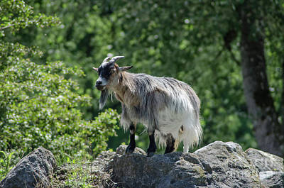Photograph - The Goat by Michelle Meenawong