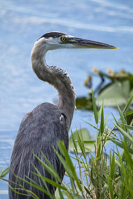 Photograph - The Great Blue Heron  by Saija  Lehtonen