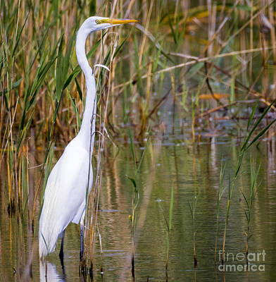 Photograph - The Great White Egret by Ricky L Jones