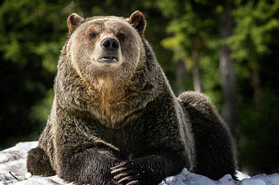 Photograph - The Grizzly Bear Grinder by Sabine Edrissi