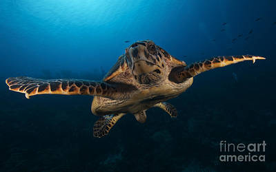 The Hawksbill Sea Turtle, Bonaire Art Print by Terry Moore