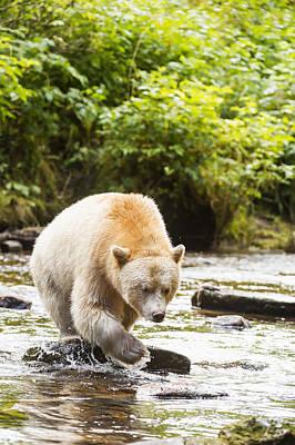 The Kermode Bear  Ursus Americanus Art Print
