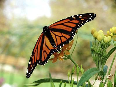 Photograph - The Mighty Monarch Butterfly by Rebecca Overton
