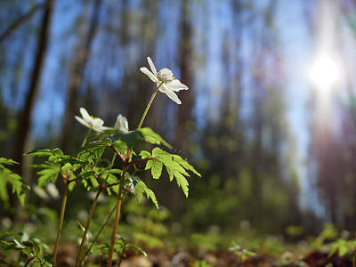 Photograph - The Morning. Wood Anemone by Jouko Lehto