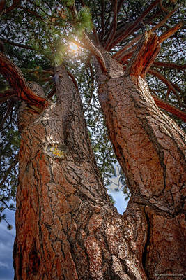 Photograph - The Old Veteran Jeffrey Pine  by LeeAnn McLaneGoetz McLaneGoetzStudioLLCcom