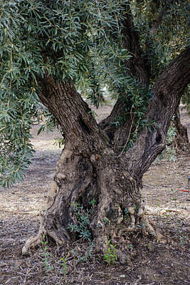 Photograph - The Olive Tree by Tikvah's Hope