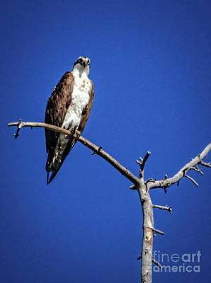 Photograph - The Osprey by Robert Bales