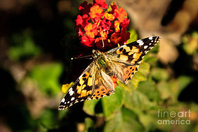 Vanessa Wall Art - Photograph - The Painted Lady by Robert Bales