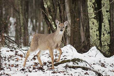 Photograph - Doe In Snow by Benanne Stiens