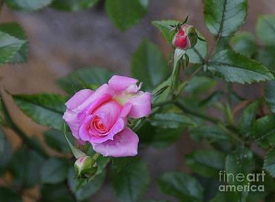 Photograph - The Rose by John Kolenberg