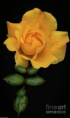 Photograph - The Rose by Mitch Shindelbower