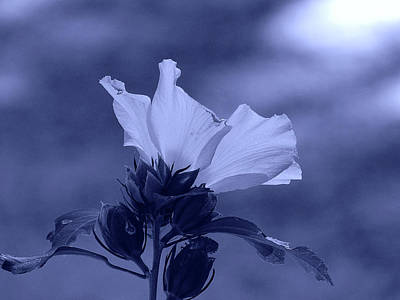 Photograph - The Rose Of Sharon by Allen Beilschmidt
