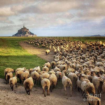 Photograph - The Sheep Of Mont Saint Michel by Dominique Guillaume