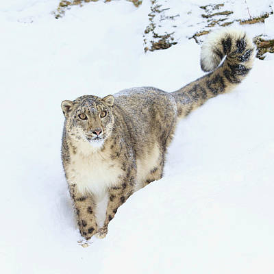 Photograph - The Snow Leopard  by Steve McKinzie