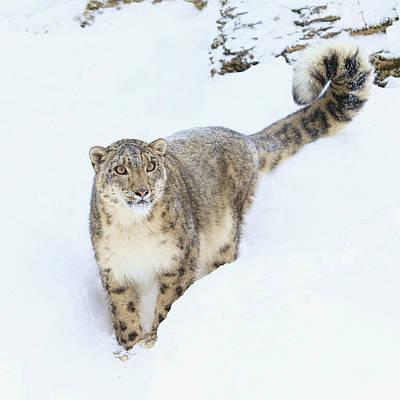 Photograph - The Snow Leopard  by Steve McKinzie