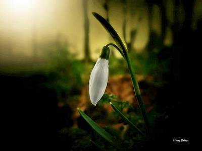 Photograph - The Snowdrop by Morag Bates