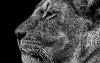 Lioness Photograph - The Surveyor by Paul Neville