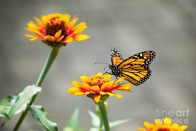 The Visiting Monarch Art Print by Sharon McConnell