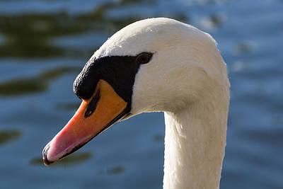 Swan Pair Photograph - The Watchful Swan by David Pyatt