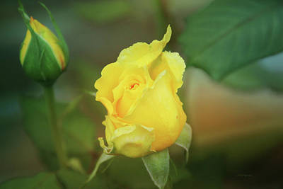Photograph - The Yellow Rose by Ericamaxine Price
