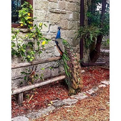 Unique Photograph - Beautiful Peacock by Janel Cortez