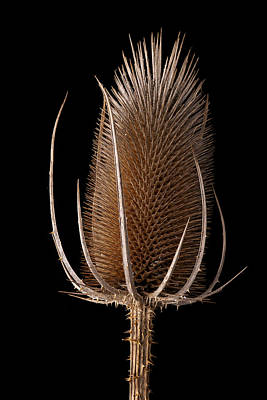 Sting Photograph - Thistle by Dirk Ercken