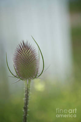 Photograph - Thistle by Jenny Potter